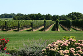 Clovis Point Vineyard in summer